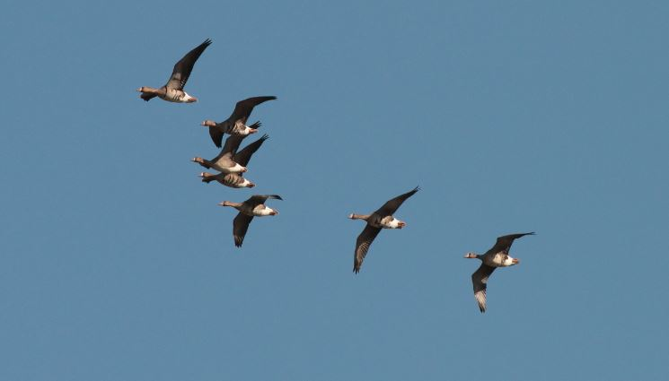 Even in flight the black belly bars of the adults can clearly be seen